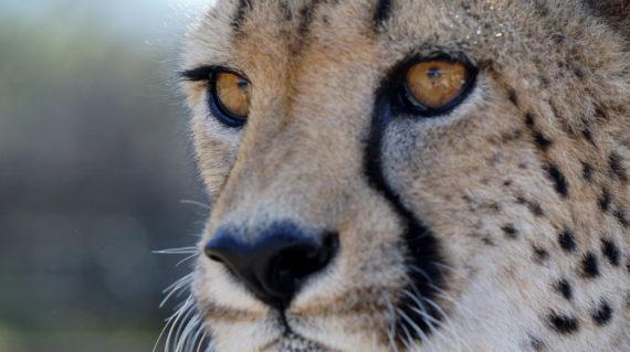 entrada-cheetah