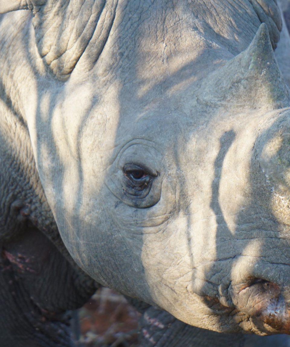 Black Rhino peering through the bushes..