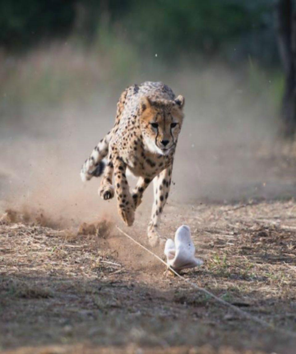 cheetah-run-1